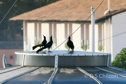 Great-tailed grackles displaying