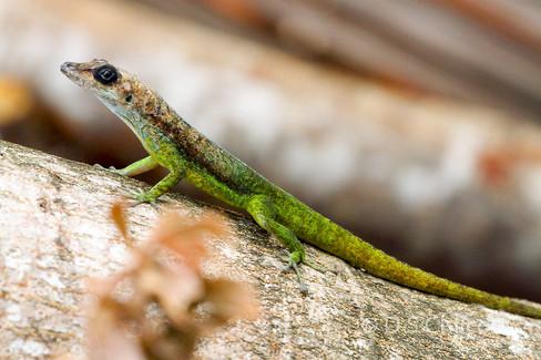 Anole species