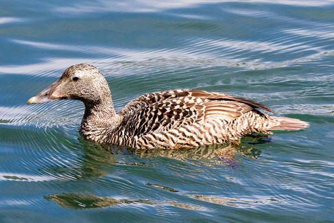 Eider duck (female