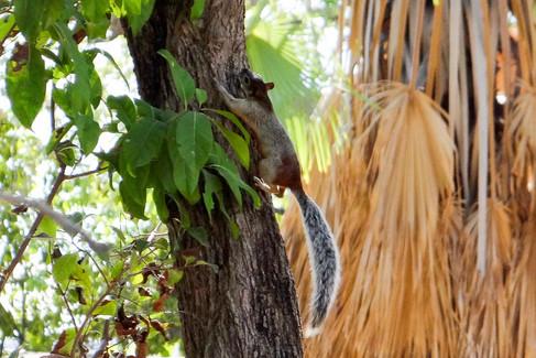 Mexican fox squirrel