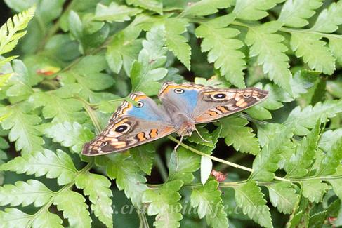 Tropical buckeye butterfly.