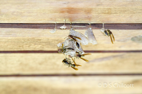Wasp sp