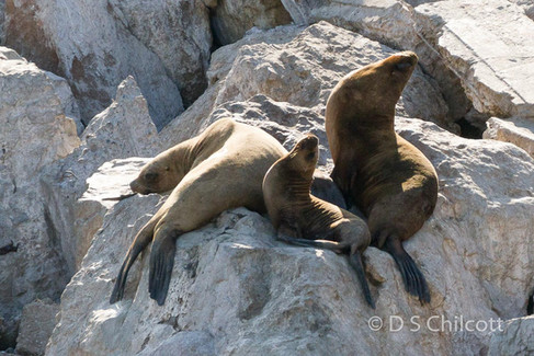 South American sealions