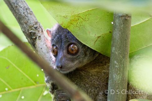 Nosy be sportive lemur (1.jpg