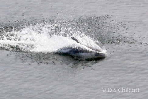 Peale's dolphin
