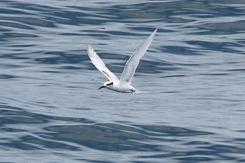 Black-naped tern