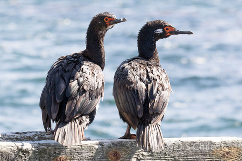 Magellanic cormorant (2).jpg