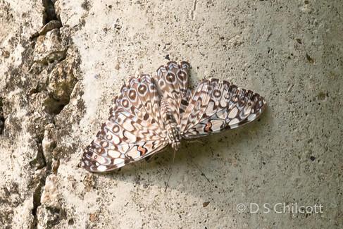 Grey cracker butterfly