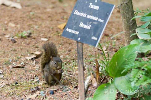Brazilean squirrel