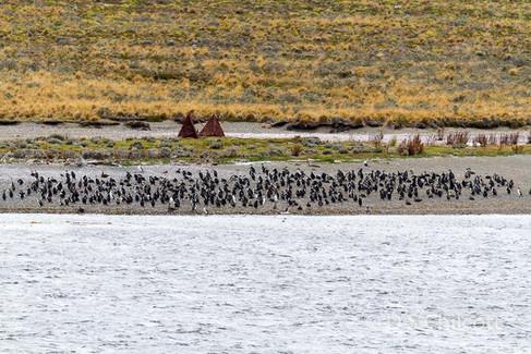 Magellanic penguins on a beach
