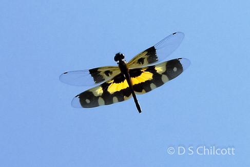 Variegated flutterer in flight