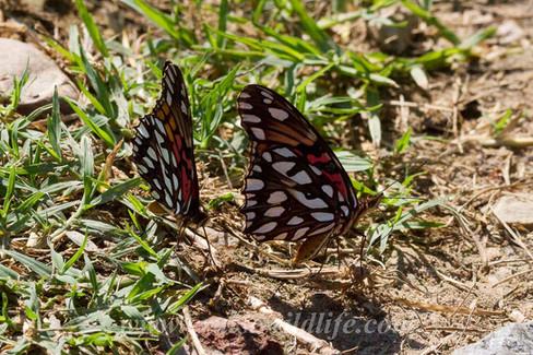 Dione moneta butterfly