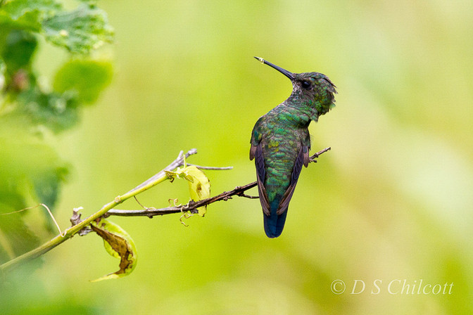 Glittering-throated hummingbird