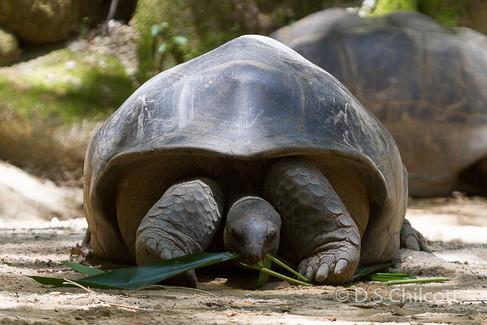 Aldabra giant tortoise (3).jpg