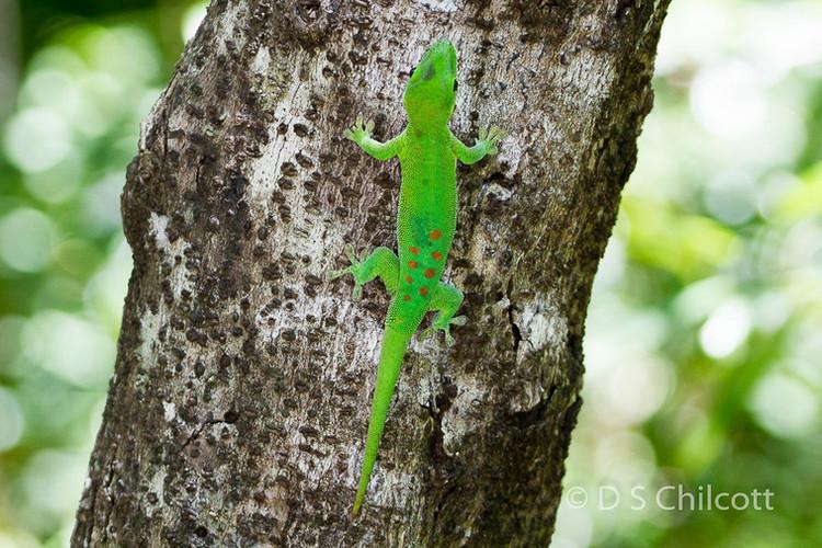 Madgascar day gecko