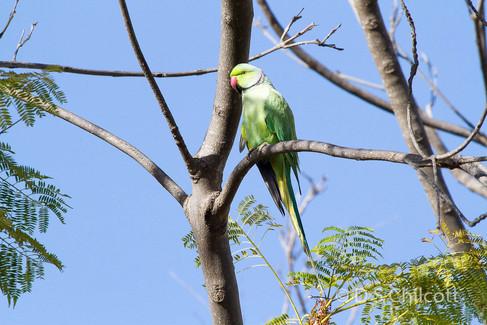 Ring-necked parakeet