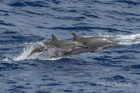 Clymene's dolphin