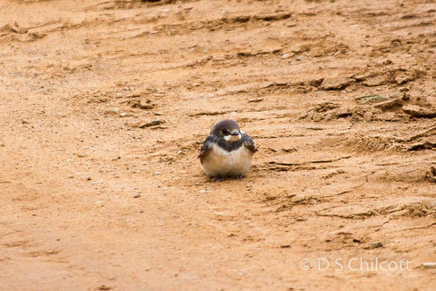 White-throated swallow (juvenile)