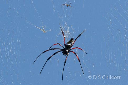 Red-legged golden orb-weaver spider