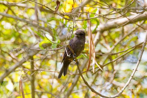 Vermillion flycatcher (black morph)