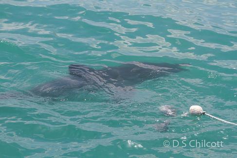 Great white shark (17).jpg