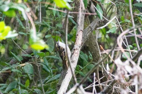 Thorn-tailed Rayadito