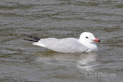 Audouuins gull