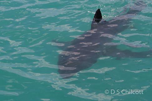 Great white shark (20).jpg