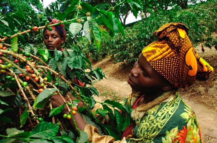 タンザニア ブラックバーン農園
