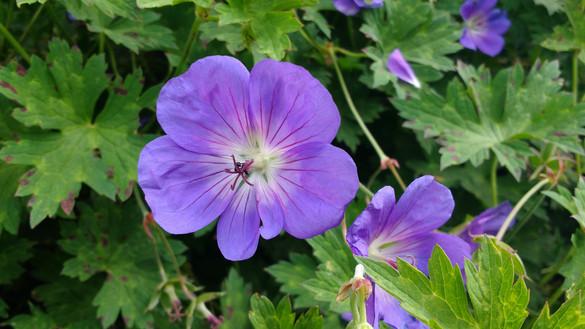 Geranium Rosanne in ons bloemenperk