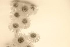 harsha_flower1.jpg