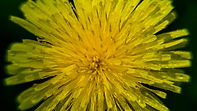 DENDELION - Sunflower on a spring meadow
