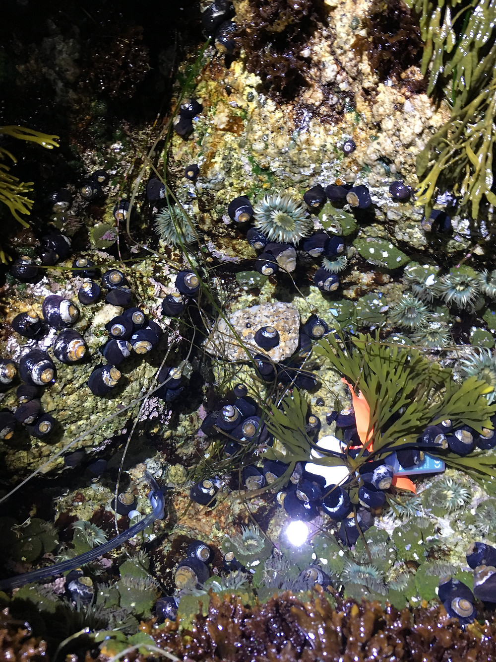 Tidepool at night FILLED with herbivorous snails (Chlorostoma) and sea anemones (Anthropluera)