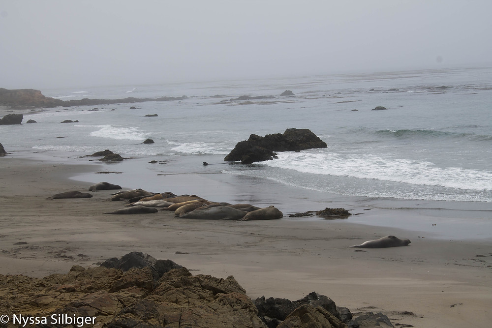 Elephant seals in Piedras Blancas State Marine Reserve just north of Cambria