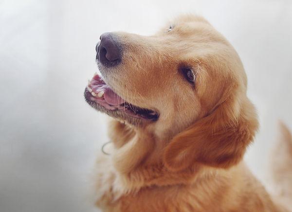 Golden Retriever Tallebudgera Dog Walker & Pet Sitter