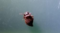 臭蟲(床蝨/木蝨)