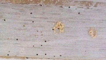 蛀木蟲(竹蠹、竊蠹) Wood-boring Insects ,蛀木蟲洞 , 木粉
