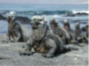 Galapagos Lizard.png