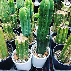 cactus-gardens