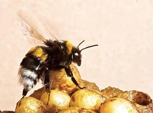 Bumble Bee-00694-3.jpg