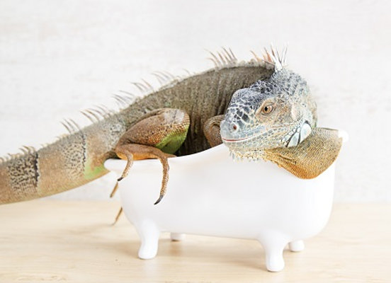 Iguane au bain (série 2018)