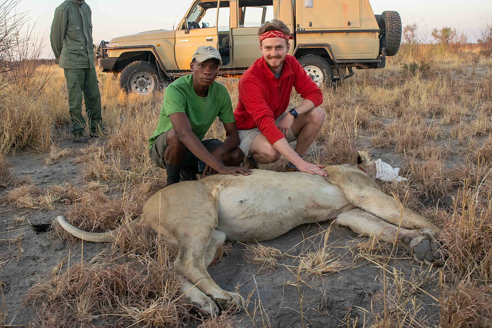 Attaching a GPS collar to a lion