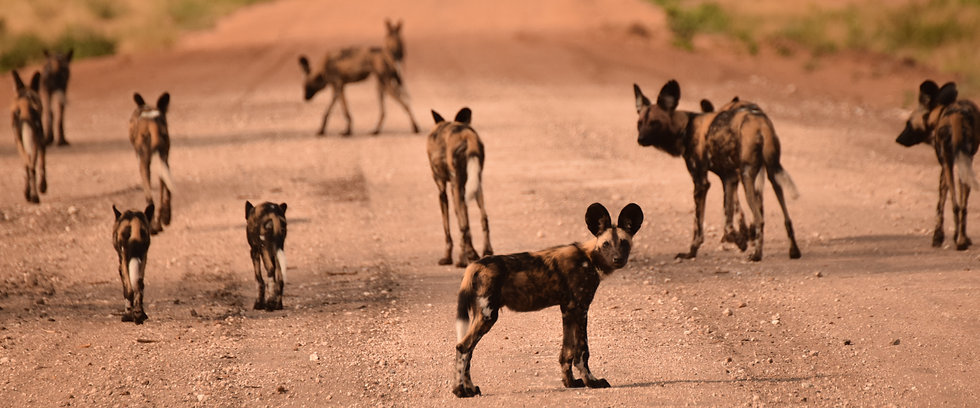 African Wild dog, Namibia