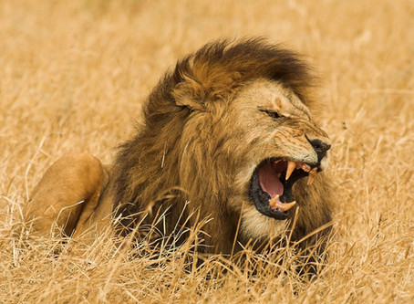 (Ep. 3/4) Talking Wild Lion Conservation with Kevin Richardson