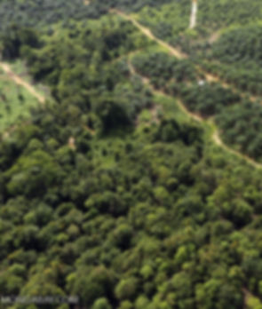 Palm oil plantations Mongabay
