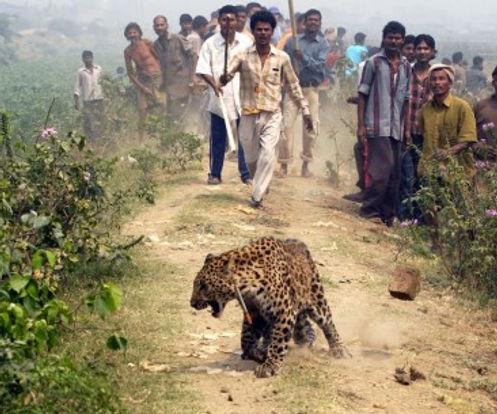 hman-wildlife conflict with leopards in India