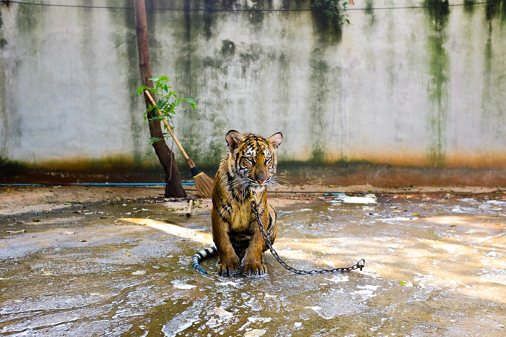 Chained up tiger - illegal wildlife trade