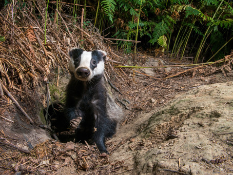 England's Badger Cull Explained - a Photo-Story