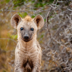 Ep. 4/4: Can we change a Hyaenas spots? The #YearOfTheHyaena with Kevin Richardson