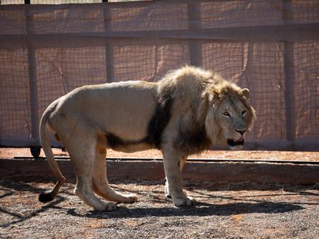 GEORGES — A Lion's Tale
